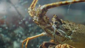 Hummer, Oberteile und Krabben im Aquarium an einer Restaurant-Cafébar des Meeresfrüchtemarktes neuen stock video