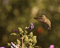 Hummer planant Photographie stock