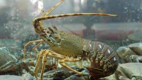 Hummer, skal och krabbor i akvarium på för restaurangkafé för havs- marknad en ny stång stock video