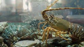 Hummer, skal och krabbor i akvarium på för restaurangkafé för havs- marknad en ny stång arkivfilmer