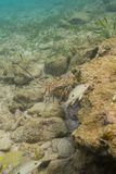 Hummer und Fische im Ozean Stockfotografie