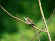 Hummerbird på filial Royaltyfria Foton
