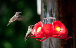 Hummers on a feeder Stock Photos