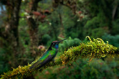 Humminbird在自然森林栖所 壮观的蜂鸟, Eugenes fulgens,好的鸟,使用广角镜头 野生生物场面 免版税库存照片