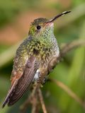 Humminbird. Hummingbird on a branch. Costa Rica Royalty Free Stock Photo