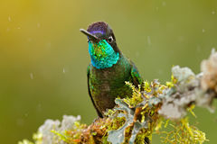 Humminbird dans l'habitat de forêt de nature Détail d'oiseau brillant brillant Colibri magnifique, fulgens d'Eugenes, oiseau gent photos libres de droits