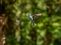 Humminbird in Monteverde Lizenzfreie Stockbilder