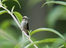 Humminbird rassemble le pollen des fleurs photos stock