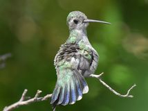 Humming bird Stock Photography