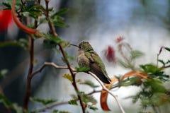 Humming Bird Stock Photography