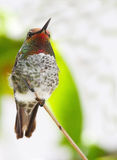 Humming Bird. Colorful Humming Bird Sitting On Tree Branch With Green And White blurred Background royalty free stock photos