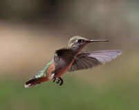 Humming bird. Close up of a humming bird in mid flight with very bright and pretty colors stock photography