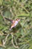 Humming bird Royalty Free Stock Images