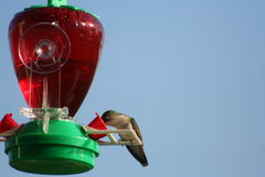 Humming Bird. Eating on a feeder on a blue sunny day Stock Images
