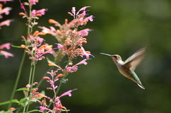 Humming Bird. Stops by for a drink of nectar royalty free stock photo