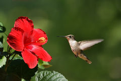 Humming Bird Approaching Flower Landscape Royalty Free Stock Images