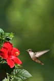 Humming Bird Approaching Flower Portrait. Portrait view of a humming bird approaching a red flower stock image