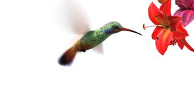 Humming bird. Beautiful 3d animation
