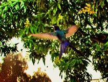 Humming Bird. Beautiful humming bird flying away Stock Photography