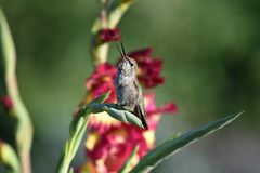 A humming bird. Catching a fly royalty free stock image