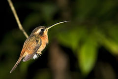 Humming bird or colibri in rain forest. Humming bird on a small branch at night in the Bolivian rain forest this small birds are also called colibri green stock images