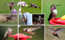 Humming bird collection royalty free stock image