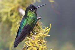 Humming Bird. Colorful humming bird resting on a branch. Photograph taken in Costa Rica Royalty Free Stock Images