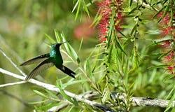 The humming-bird, Cuban emerald (Chlorostilbon ricordii) Royalty Free Stock Photography