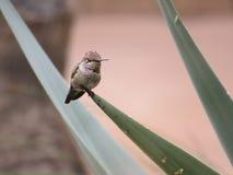 Humming Bird, Dreams of Spring Stock Image
