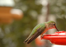 Humming Bird Drinking. A humming bird drinking from a feeder Royalty Free Stock Image