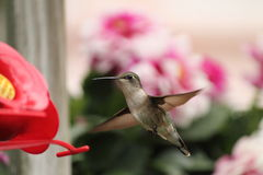 Humming Bird Stock Image