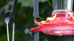 Humming Bird on Feeder. This humming Bird sits on a feeder before consuming nectar in Summer stock photography