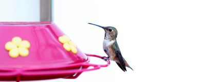 Humming Bird. On a feeder with a white background royalty free stock photography