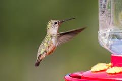 Free Humming Bird Feeding Royalty Free Stock Images - 32323829