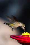 Humming bird feeding Stock Images