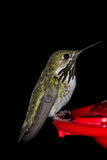 Humming bird feeding Stock Image