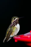 Humming bird feeding Royalty Free Stock Photography