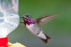 Humming bird feeding Stock Photo