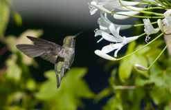 Humming Bird 2118 Stock Photo