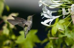 Humming Bird 2118 Stock Photo