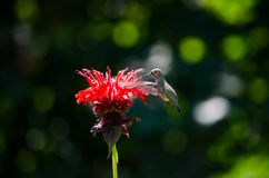 Humming bird feeding from a flower. Humming bird captured, frozen in mid-air, feeding on a red flower Royalty Free Stock Photography