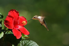 Humming Bird Feeding on Flower Landscape. Landscape view of a humming bird feeding on a red flower royalty free stock images