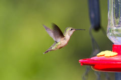 Humming bird feeding. On a home feeder with simple syrup stock photography