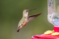 Humming bird feeding Royalty Free Stock Images