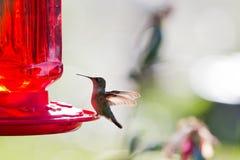 Humming bird feeding Royalty Free Stock Photography