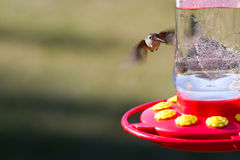 Humming bird feeding Stock Photos