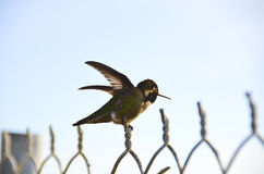 Humming Bird on Fence. A small humming bird is still on the top of a fence on a sunny day royalty free stock images