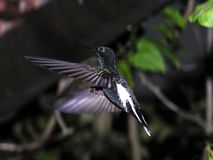 Humming bird in flight 1. Big hummingbird royalty free stock photo