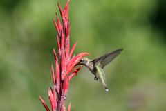 Humming Bird in Flight. Humming bird flying around a red orange flower to feed Royalty Free Stock Photos