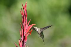 Humming Bird in Flight Stock Photography